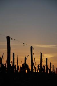 Les vignes au coucher du soleil